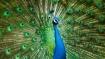 ময়ূরের পুচ্ছ ঘরে রাখলেই কোন কোন বাধা বিপত্তি থেকে মুক্তি! জানুন পন্থা