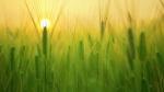 কৃষকদের আয় বৃদ্ধি করতে পদক্ষেপ মোদী সরকারের!  বাড়ানো হল রবি শস্যের ন্যুনতম সহায়ক মূল্য