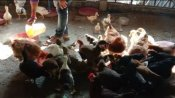 মুরগির মাংস ও ডিমের উৎপাদন বাড়াতে উদ্যোগ রাজ্যের