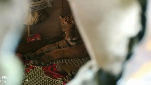 কাজিরাঙার বন্যার হাত থেকে বাঁচতে পারেনি রয়্য়াল বেঙ্গল টাইগারও, সোশ্যাল মিডিয়ায় ভাইরাল ছবি