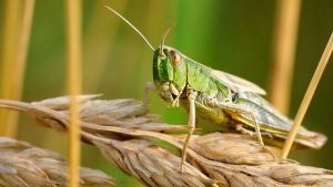 3 Km Long Swarms Of Locusts Are Coming Jhansi Administration Is On Alert