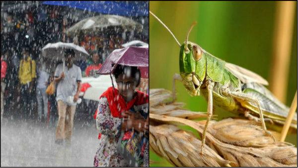 বর্ষায় পঙ্গপালের দৌরাত্ম কি কমতে পারে! বিশেষজ্ঞরা শোনালেন ভয়াবহ বার্তা