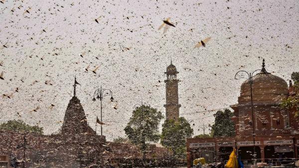 ভারতের ফসলে পঙ্গপালের দ্বিতীয় হামলার স্রোত আসতে চলেছে! কোন মরশুম নিয়ে সতর্কতা FAO এর