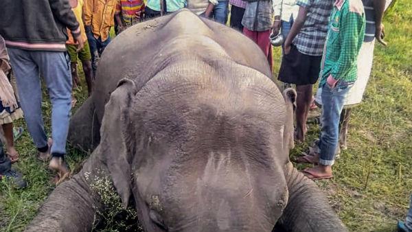 নারকীয় হত্যালীলা জারি! মাসখানেক আগে কেরলে মুখে বাজি ফেটে মৃত্যু আরও এক হাতির