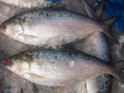 Indian High Commissioner Requests Bangladesh To Resume Export Of Hilsa
