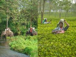 Jalpaiguri Will Lose Revenue As Many Tourist Spots Tea Gardens Go To Alipurduar