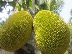 Jackfruit Mystery Hungry Thieves Must Have Cooked And Eaten Says Investigating Office
