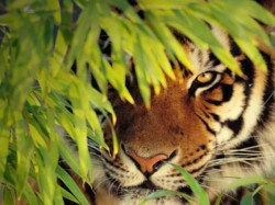 Tiger Snatches Man Off The Boat In Front Of His Son In Sunderbans
