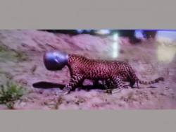 Video Leopard S Head Trapped Inside A Metal Pot In Rajasthan