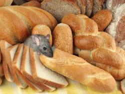 Aiims Live Rat Found Inside Bread Packet