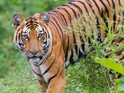 Rajasthan Maneater Tiger Who Killed 4 Humans Sentenced Life In Zoo