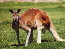 Australia To Kill Almost 2000 Kangaroos