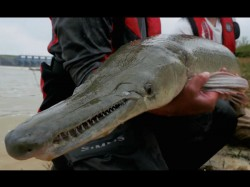 Kolkata Discovery Of Predator Fish That Resembles An Alligator Concer