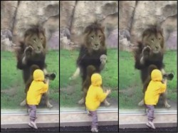 Viral Video Lion Charges At Toddler In Japan Zoo