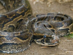 Foot Python Rescued After Trying To Swallow A Goat In West Bengal