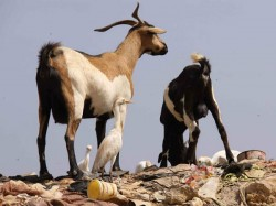 Jharkhand Mother Sell S Newborn Son Buy S Two Goats