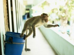 Monkey Menace Drive Iit B Students Up The Wall