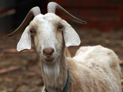 Goat Guzzles Coca Cola Kanpur May Be Slaughtered Eid
