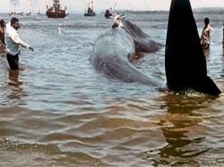 Feet Long Blue Whale Rescued Along Konkan Coast Maharashtra