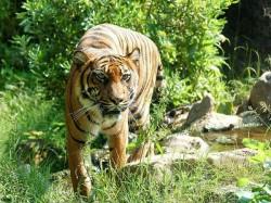 Tiger Has Entered Locality Kultali Rresidents Arrest House