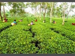 Samsing Tea Garden Jalpaiguri Closed Without Notice