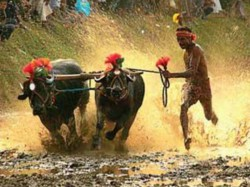 After Jallikattu Success United Voice Lifting Ban On Kambala