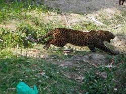 A Leopard Running Rampage The Village Roygunj Injured