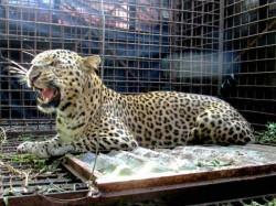Leopard Was Captured Soporific Shot
