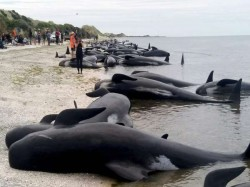 Mass Stranding On New Zealand Beach Leaves Hundreds Whales Dead People Rush To Save The Rest