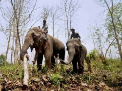 Elephant Census Is Continuing Sanctuaries National Parks North Bengal