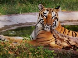 West Bengal Govt Introduce Royal Bengal Tigers Buxa Jaldapara