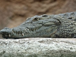 Massive Scare Trichy Villagers After Crocodile Found At Doorstep