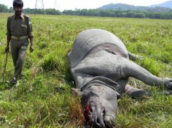 Two Skeletons Rhinoceros Were Rescued From Garumara National
