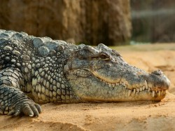 A Crocodile Was Rescued From Haridwar House