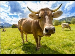 Cow S Horns Absorb Cosmic Energy Says Judge