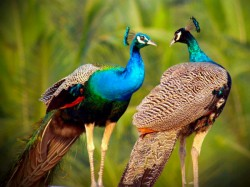 People Throngs At Sanctuary See Peacock Mating