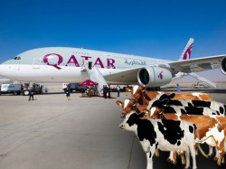 Four Thousnd Cows Will Be Airlifted Qatar