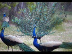 Brahmachari Peacock Remark How Peacocks Have Sex Is Most Searched Question On Google