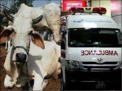 Bjp State Chhattisgarh Start Ambulance Service Cows Announces Cmr Raman Singh
