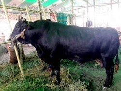 Owner Wants 13 Lakhs Rupees Cow Named Kala Babu Dhaka Cow Market