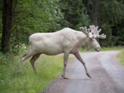 A Rare Elusive White Moose Has Finally Spotted
