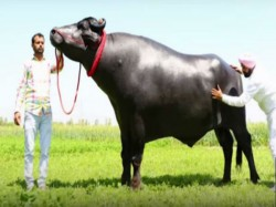 Bull Haryana Named Sultan Loves Drink Whiskey Every Day