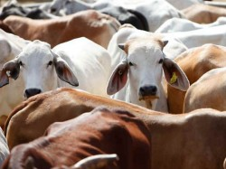 Restrictions On Cattle Selling Adds To Worry Of Indian Economic Down
