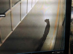 Leopard Spotted Inside Maruti Suzuki Plant At Manesar