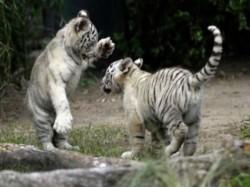 Two White Tiger Cubs Bengaluru S Bannerghatta Biological Park Kills Keeper