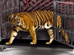 Tiger Ran Away From Cage During Circus The Video Is Now Viral