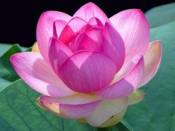 Rti Query Reveals Lotus Is Not India S National Flower