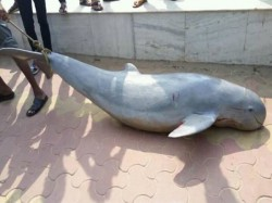 Dead Dolphin Recovered From New Digha