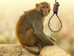 Farmer Hangs Monkey Death Damaging Crops Madhya Pradesh