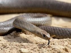 Man Bites Off Snake S Head Revenge Lucknow